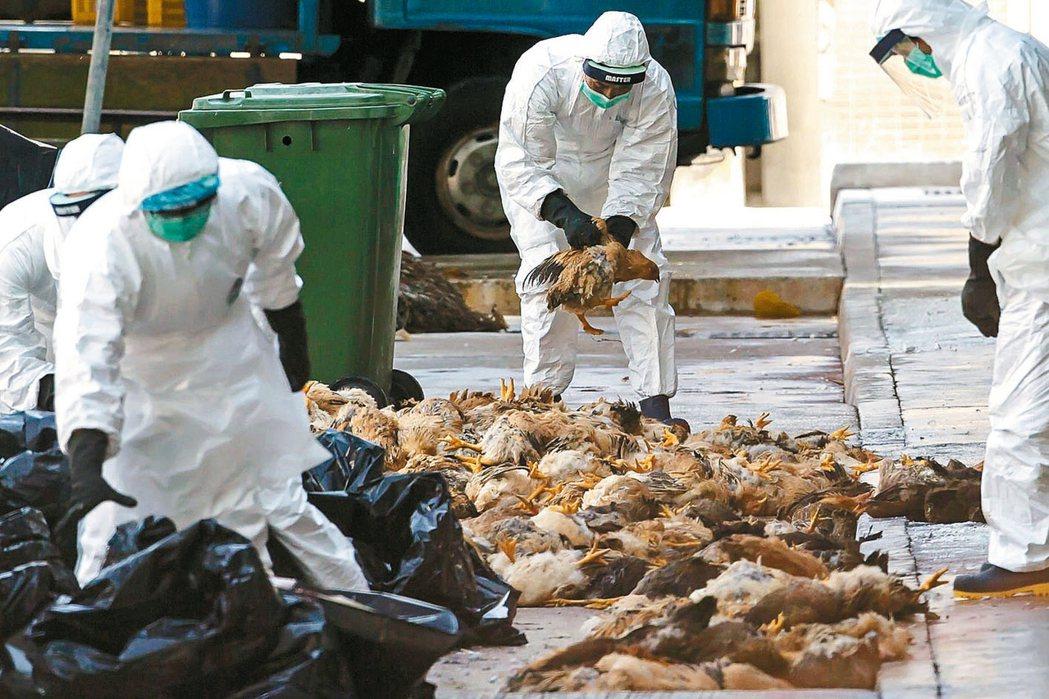 湖南爆發禽流感疫情已撲殺1.7萬隻雞。 (本報系資料庫)