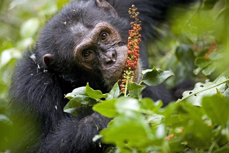 黑猩猩跟人一樣,喜歡甜的水果。 圖/法新社