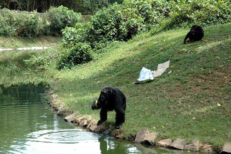 黑猩猩與村中汲水的婦女和兒童共享同一條溪流,增加了牠們與人近距離接觸的機會。 圖/新華社