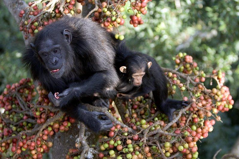 一位婦人認為,雖然黑猩猩是偷自己水果的小麻煩,但至少牠們讓狒狒無法靠近果園。 圖/法新社