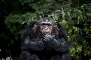 蕭人瑄/男孩之死與跨物種衝突(上):黑猩猩何以走「出」森林?
