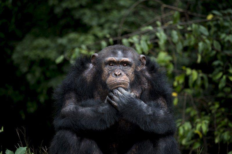 棲地縮小及食物短缺,將黑猩猩推出了森林。 圖/路透社