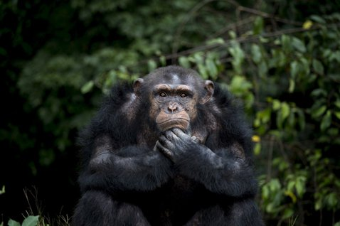 男孩之死與跨物種衝突(上):黑猩猩何以走「出」森林?