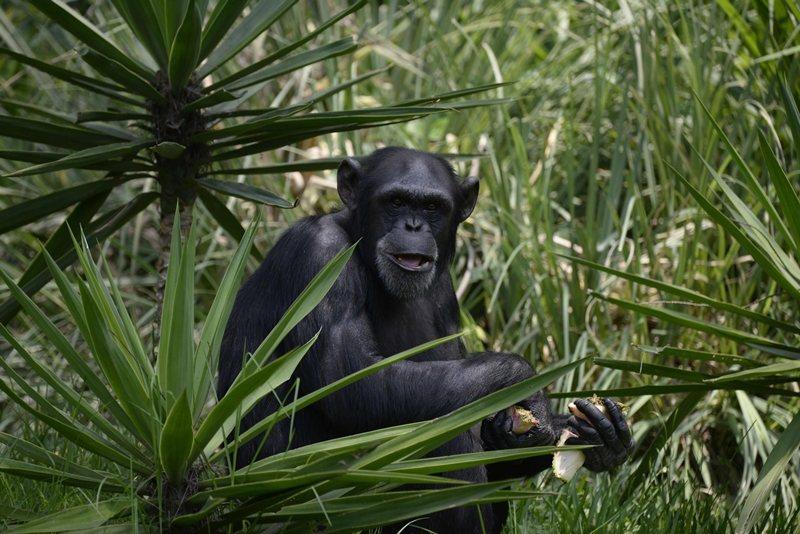 有些黑猩猩族群個體數量些微下降,成年公猩猩的數量也減少些,推測是死於陷阱。 圖/法新社