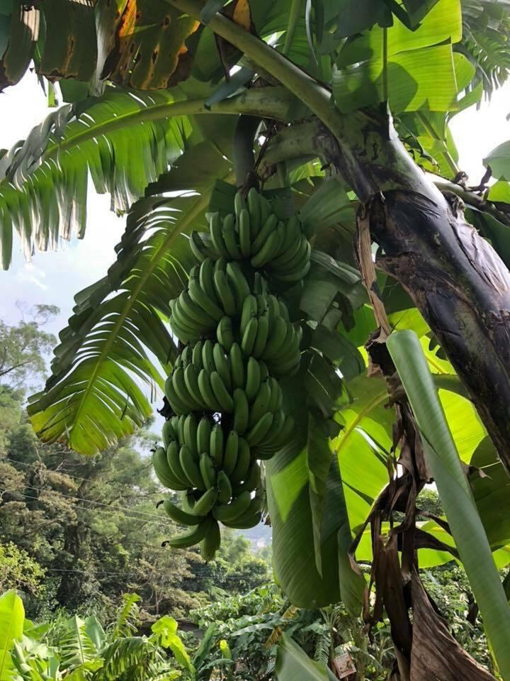 「林回有機農場」種植有機香蕉、玉米及百香果等各類有機蔬果。圖/新北市農業局提供