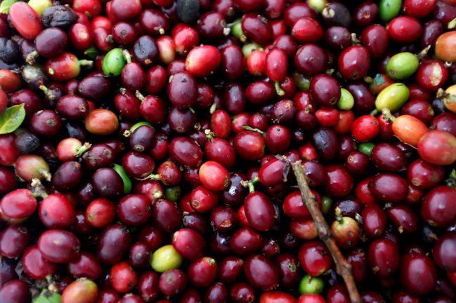 成熟的咖啡果實。 路透