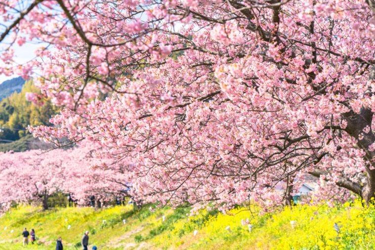 「南之櫻與油菜花祭」將於今年2月10日登場。 圖/樂天旅遊提供
