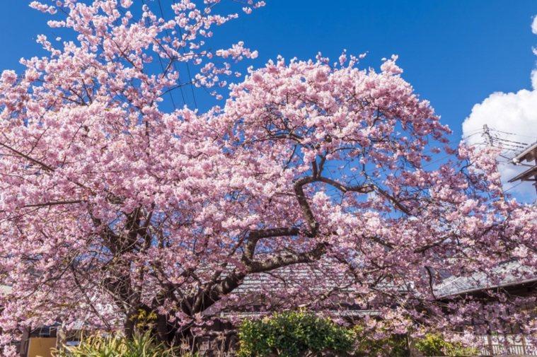 已經有60餘年歷史的河津櫻原木,乃是全日本河津櫻的始祖。 圖/樂天旅遊提供