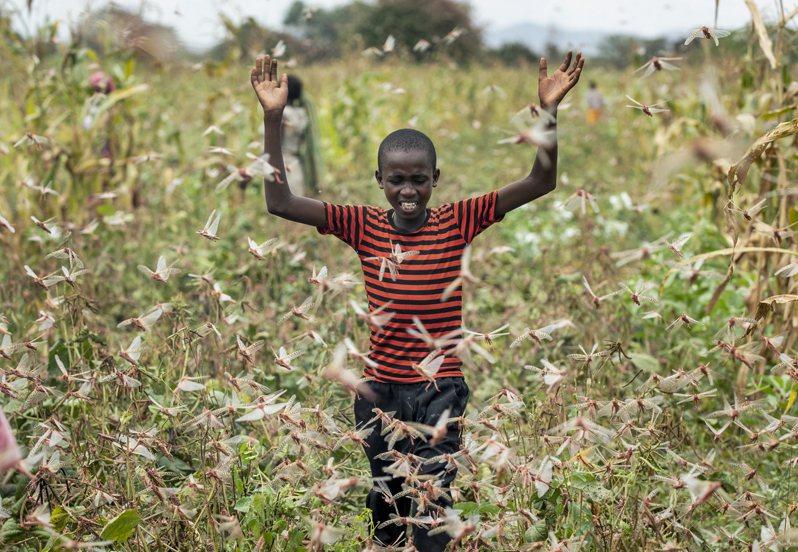 極端氣候在東非釀沙漠蝗蟲災情,索馬利亞2日宣布進入「全國緊急狀態」。聯合國糧農組織(Food and Agriculture Organization,FAO)警告,這波蟲害面積恐持續擴大,對當地糧食和生計造成前所未見的威脅。美聯社