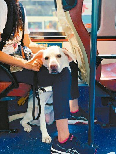 每5隻培訓的拉不拉多,只有2隻能成功訓練成導盲犬,成功率僅百分之40,培訓非常不易。 圖/惠光導盲犬學校提供