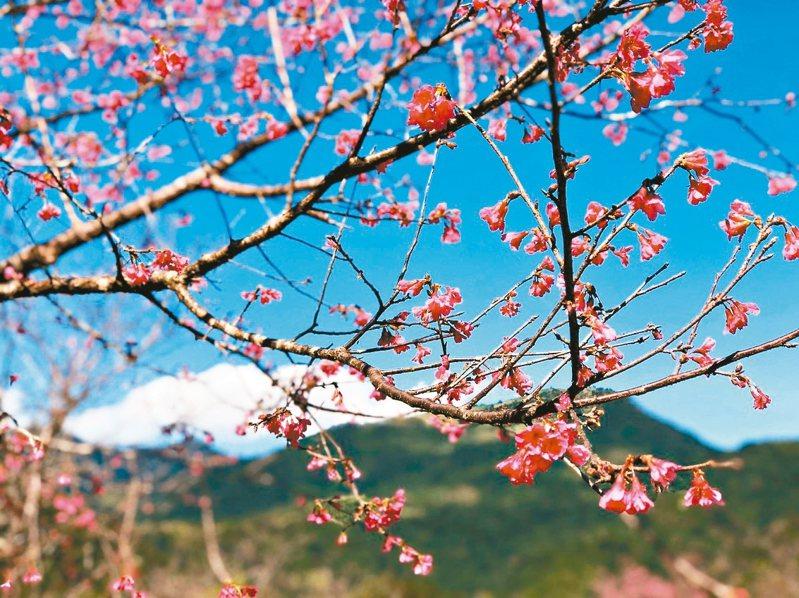 宜蘭大同鄉崙埤公園的山櫻花開了二成,本月8日的櫻花季活動不受疫情影響,照常舉行。 圖/鄉公所提供