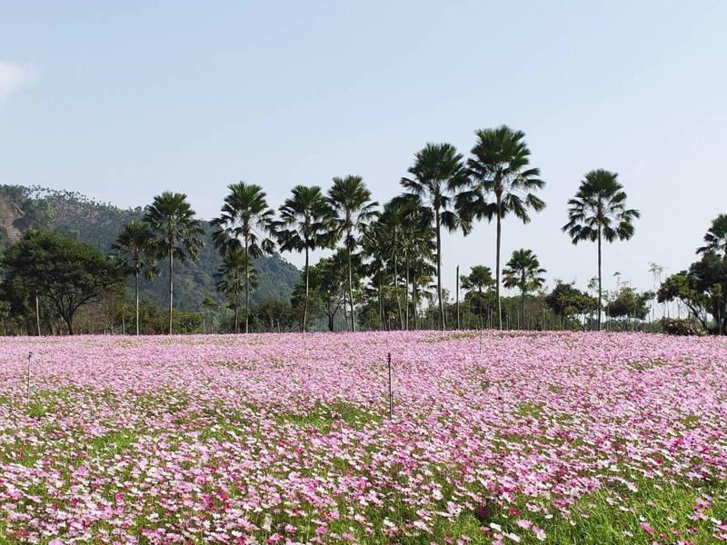 宜蘭大同鄉崙埤公園的大波斯菊開得漂亮,本月8日的櫻花季活動不受疫情影響,照常舉行,歡迎民眾來拍美照。圖/鄉公所提供