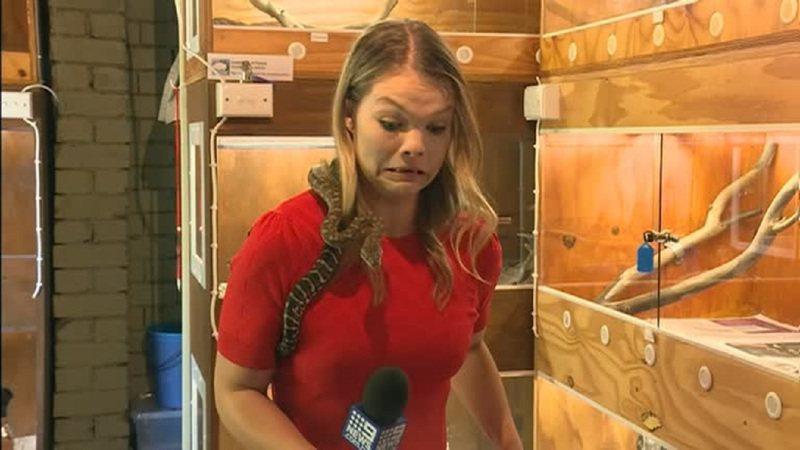 澳洲第九頻道新聞網記者柯緹5日前往新南威爾斯省沃加沃加,準備拍攝一條蛇類安全需知的新聞,蛇專家把一條蟒蛇放上她的肩膀做效果,但蟒蛇開始攻擊柯緹手上的麥克風,讓她當場尖叫出聲,所幸採訪順利完成。路透