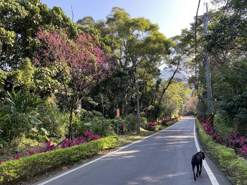 2月正是台灣山櫻花開花期,淡水滬尾櫻花大道更是知名的賞櫻景點。圖/新北市景觀處提供