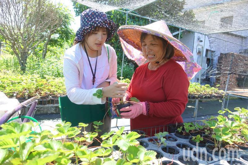 苗栗縣農業處實習植物醫生吳意眉(左)在草莓苗圃,協助農民解決農作物種植遇到問題,提供建議對症下藥。記者劉星君/攝影