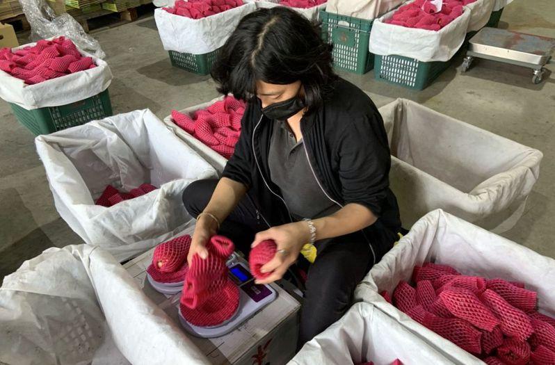 高雄六龜區主推的「南果美眉」品牌,相繼推出巴掌香水、黑糖芭比及紫蜜、蜜風鈴等風味各異的蓮霧,但因對大陸市場依賴性偏高,也埋下不可預知的風險。圖/高雄市農業局提供