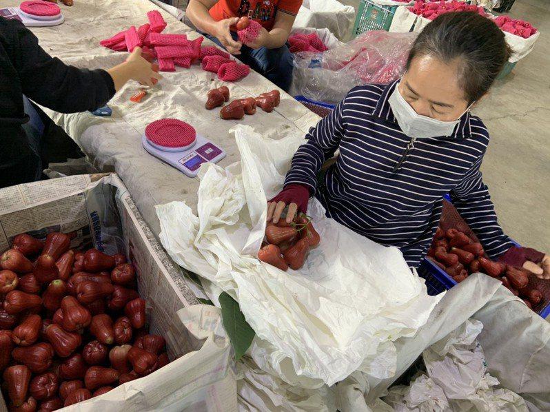 克服大陸疫情阻礙,高雄市農業局明天將裝櫃蓮霧等高雄當季水果運往大陸廣州與深圳與江蘇等批發市場與超市。圖/高雄市農業局提供
