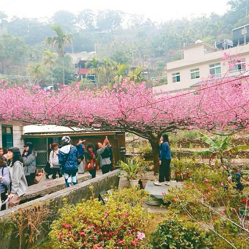 屏東縣霧台部落名氣最響的「櫻花王」在元宵節全開,吸引民眾上山賞櫻。 圖/讀者提供
