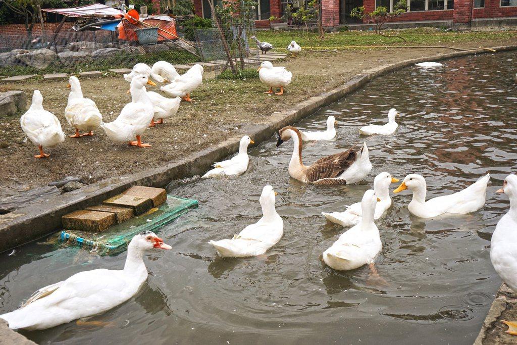 鴨寮故事館是傳統型的鴨寮,可以近距離餵鴨 老錢的老巢/授權提供