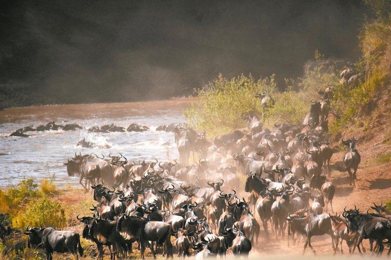 觀看牛羚、斑馬過河是動物大遷徙的重頭戲。 圖/有行旅提供