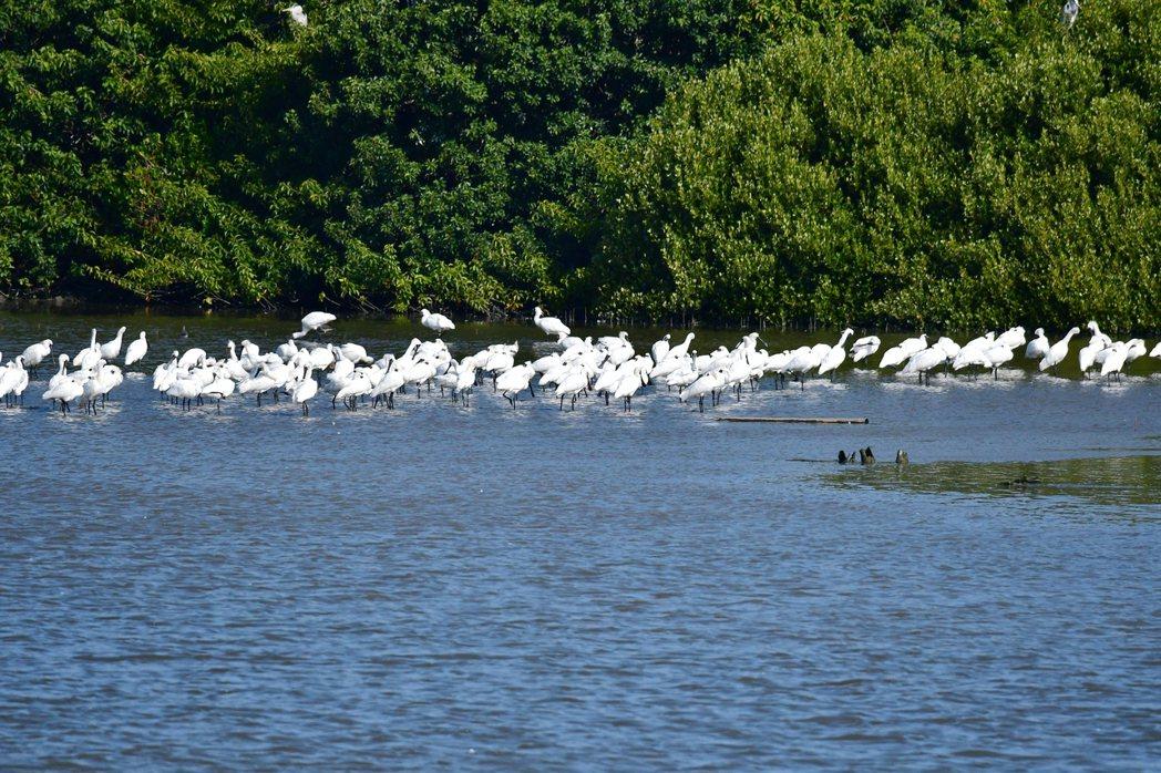 台南市學甲濕地生態園區的黑面琵鷺數量年年創新高,已成賞鳥熱門地區。圖/台南市生態...