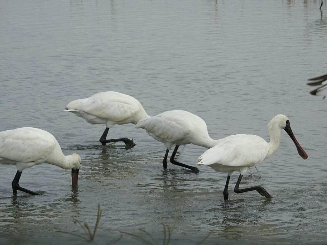 每年來台度冬的黑面琵鷺,將在清明節過後陸續離開,把握賞鳥的時機。圖/台南市生態保...