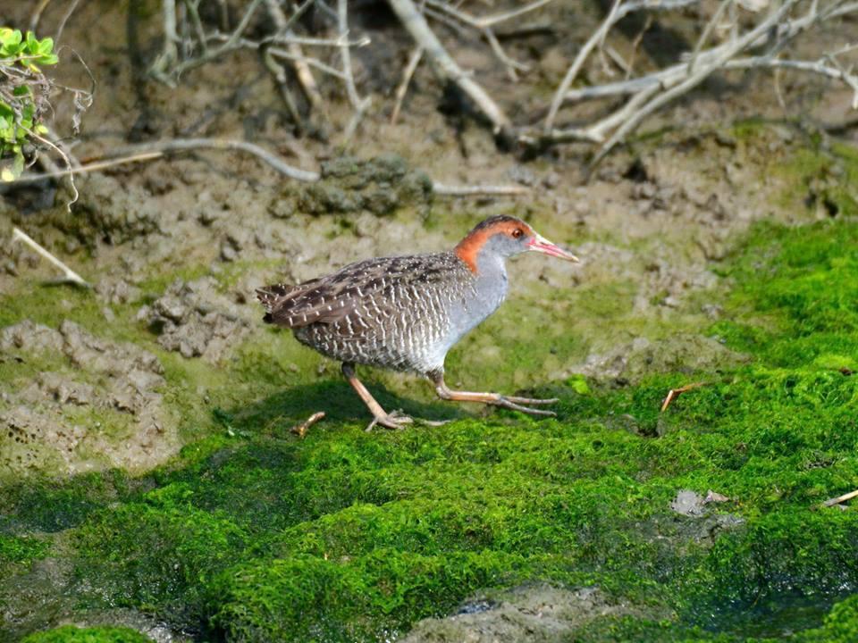台南學甲濕地也發現罕見保育鳥種灰胸秧雞,數量約30隻,令鳥友驚喜。圖/台南市生態...