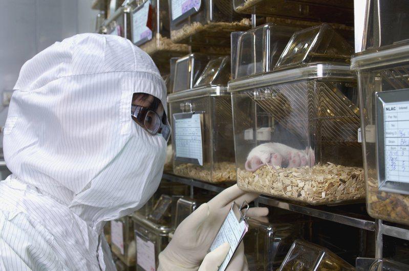動物中心研究員照顧實驗鼠。圖/國研院動物中心提供