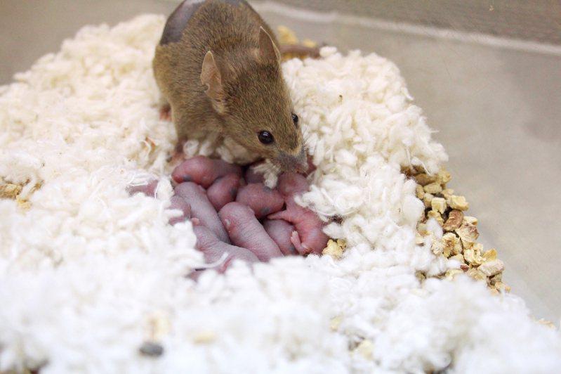 實驗鼠。圖/國研院動物中心提供