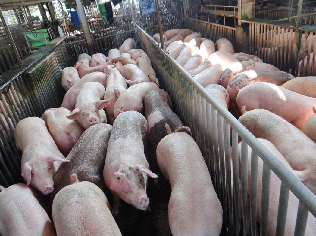 春節過後豬價下跌,更跌破每公斤六十元大關,這是近10年來同期的最低價。記者蔡維斌...