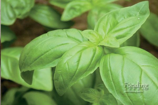 甜羅勒是義式青醬的主要食材。 圖片提供/台灣好食材(攝影/王正毅)