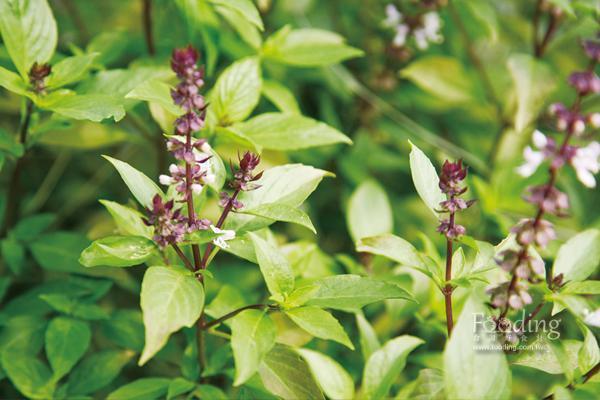 九層塔是台菜料理常用的香料,也是羅勒的一種。 圖片提供/台灣好食材(攝影/王...