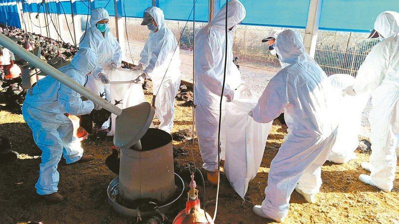 圖為屏東縣一家土雞場經確認感染H5N2亞型高病原禽流感病毒,防疫人員立即赴該場撲殺9015隻黑羽土雞。圖/屏東縣政府提供
