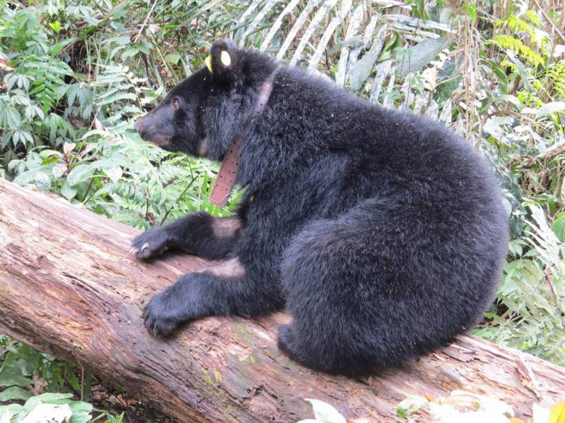廣原小母熊Mulas在悉心照養下,體重已重達33.5公斤,健康狀態良好,脖子上戴上無線電發報器。圖/台東林管處提供