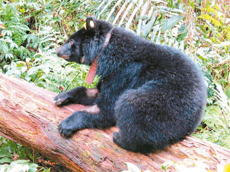 廣原小母熊Mulas在悉心照養下,體重已重達33.5公斤,健康狀態良好,脖子上戴上無線電發報器。 圖/台東林管處提供