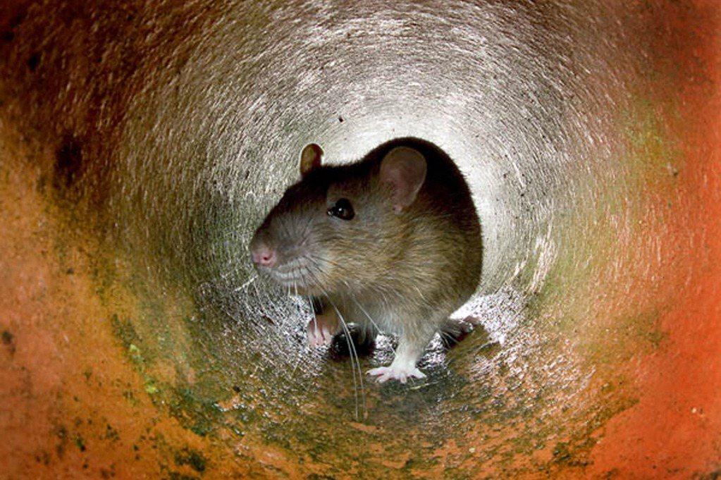 人類在科學、醫學領域方面的研究與發展,都對老鼠依賴甚深。 圖/法新社
