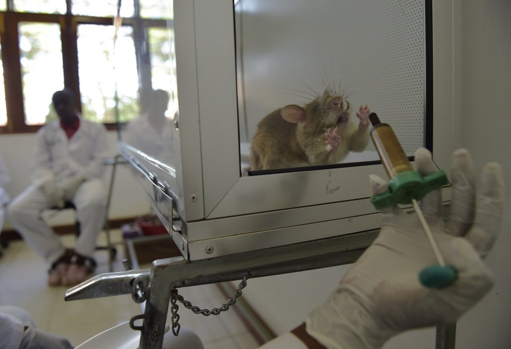 動物研究者柏特(Jonathan Burt)認為,老鼠對科學實驗的貢獻讓牠們得到英雄般的稱讚。 圖/法新社
