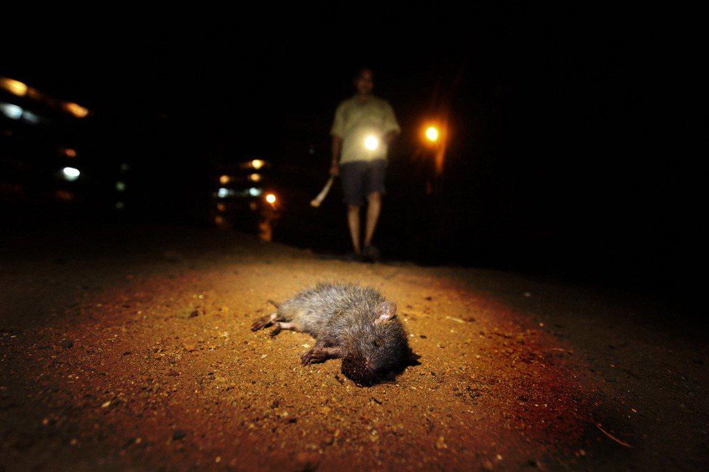 老鼠的形象也經常和疾病、骯髒連結在一起。圖為孟買街頭的捕鼠人。 圖/美聯社