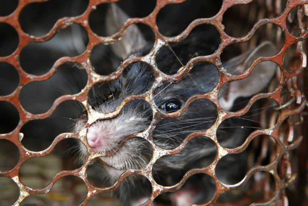 諸多文學作品將老鼠與瘋狂墮落連結,卻也點出人類與老鼠的共通特性。 圖/路透社