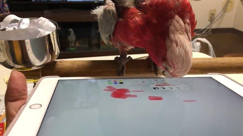鸚鵡Ash用平板作畫,甚至還能自己更換筆刷,讓網友們驚喜不已。圖/Twitter