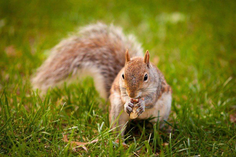 超可愛的松鼠是超級吃貨。示意圖/ingimage