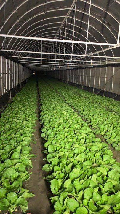 原本要供應學校午餐的有機小白菜仍持續收成中,雙北農產批發市場,產地農民都發起團購蔬菜箱,希望企業、機關團體、辦公室團購,協助農民度過難關。圖/農民提供
