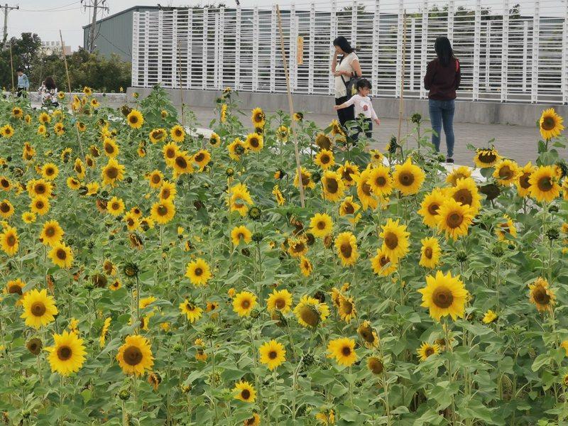嘉義市228公園花海正盛開,許多家長帶著小朋友到園區拍照、遊憩。記者卜敏正/攝影