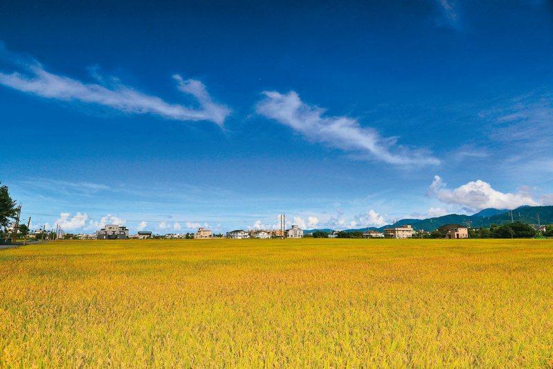稻穀金黃,收割季節到了。 圖/黃春美提供