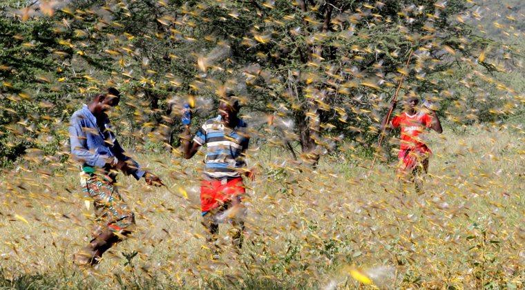 衣索比亞南部、肯亞部分地區正遭受蝗災入侵,蝗蟲數量龐大數十年僅見。 路透社