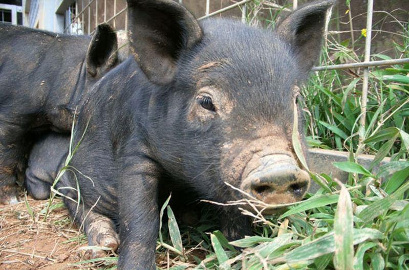 沖繩縣政府最快將在今月中挑選50隻阿古豬送到離島隔離,而剩下來留在沖繩本島的則接種疫苗。(沖繩ニュース圖片)