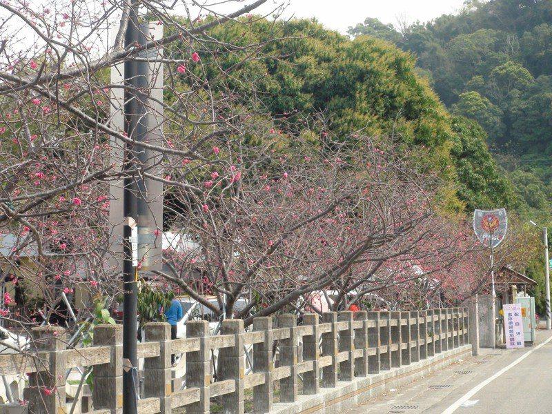 台中市后里泰安櫻花季明日登場,目前櫻花開花約2成,已有不少遊客提前來賞花。記者余采瀅/攝影