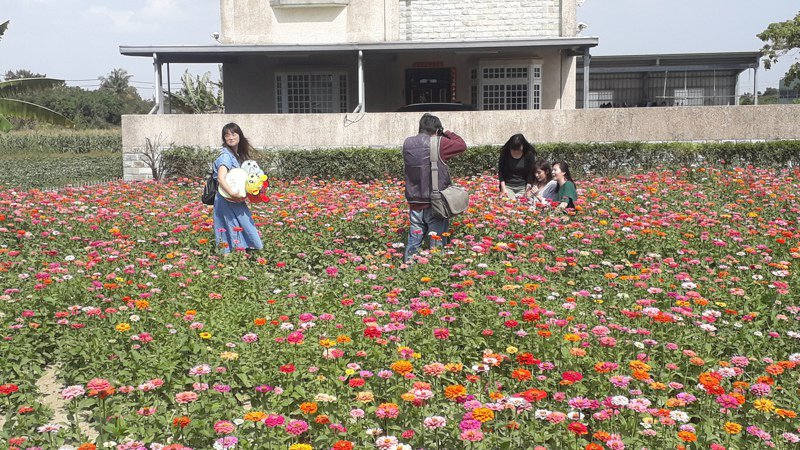 仁德中洲種植向日葵與百日草花海吸引民眾拍照。記者周宗禎/攝影