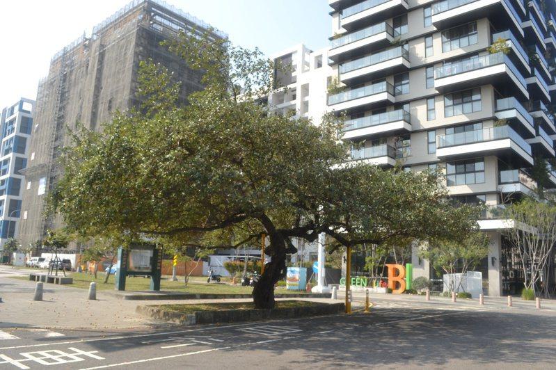 台南市南區水交社路老棗樹,已成社區重要景觀。記者鄭惠仁/攝影