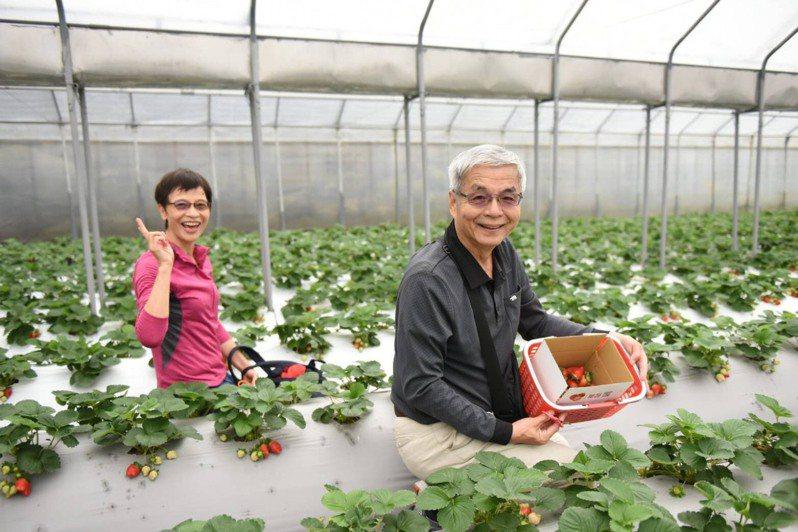 每年12月到隔年5月是北市內湖區草莓產季,3月到4月為盛產期,農友採用溫室高架栽種,讓民眾即使在雨天也能放心體驗採果樂趣,適合親子同遊。圖/北市產業局提供